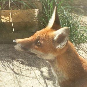 Urban fox London Credit: Kate Arkless Gray